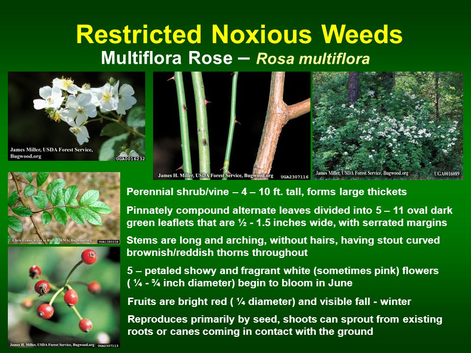 Restricted Noxious Weeds Multiflora Rose – Rosa multiflora Perennial shrub/vine – 4 – 10 ft.