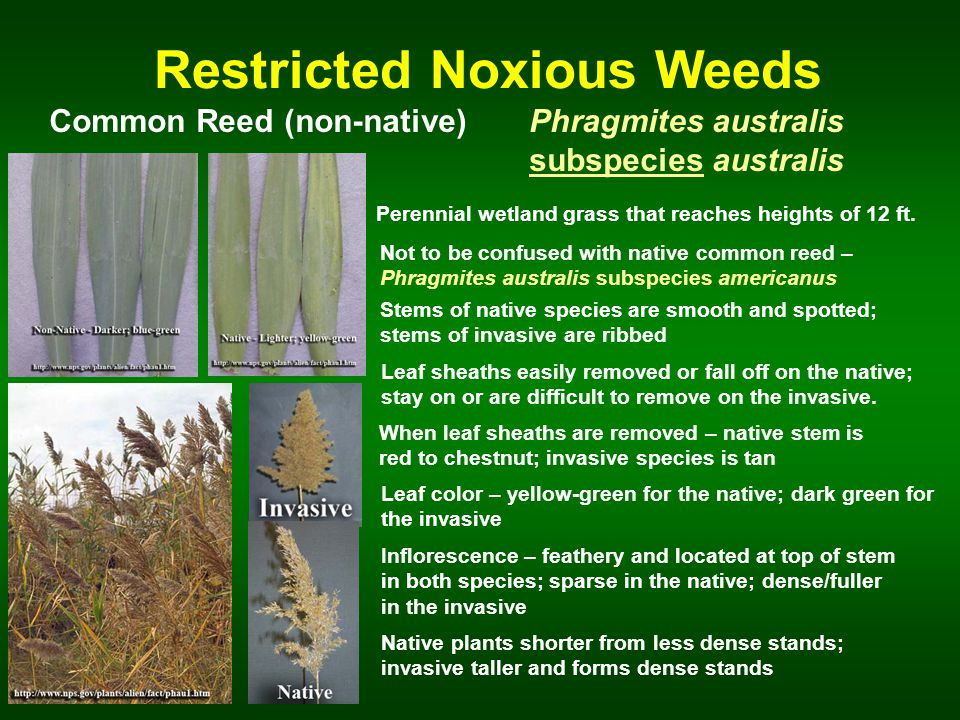 Restricted Noxious Weeds Common Reed (non-native)Phragmites australis subspecies australis Perennial wetland grass that reaches heights of 12 ft.