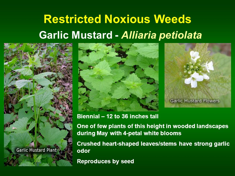 Restricted Noxious Weeds Garlic Mustard - Alliaria petiolata Biennial – 12 to 36 inches tall One of few plants of this height in wooded landscapes during May with 4-petal white blooms Crushed heart-shaped leaves/stems have strong garlic odor Reproduces by seed