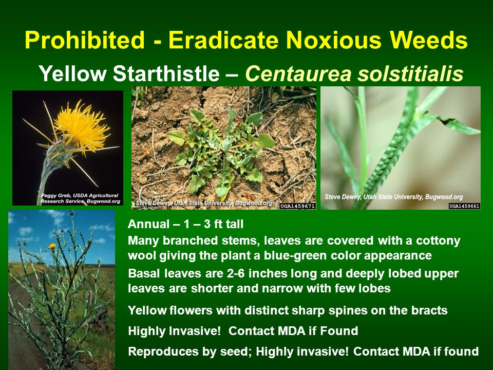 Prohibited - Eradicate Noxious Weeds Yellow Starthistle – Centaurea solstitialis Annual – 1 – 3 ft tall Many branched stems, leaves are covered with a cottony wool giving the plant a blue-green color appearance Basal leaves are 2-6 inches long and deeply lobed upper leaves are shorter and narrow with few lobes Reproduces by seed; Highly invasive.