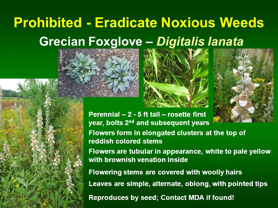 Prohibited - Eradicate Noxious Weeds Grecian Foxglove – Digitalis lanata Perennial – 2 - 5 ft tall – rosette first year, bolts 2 nd and subsequent years Flowers form in elongated clusters at the top of reddish colored stems Flowering stems are covered with woolly hairs Reproduces by seed; Contact MDA if found.