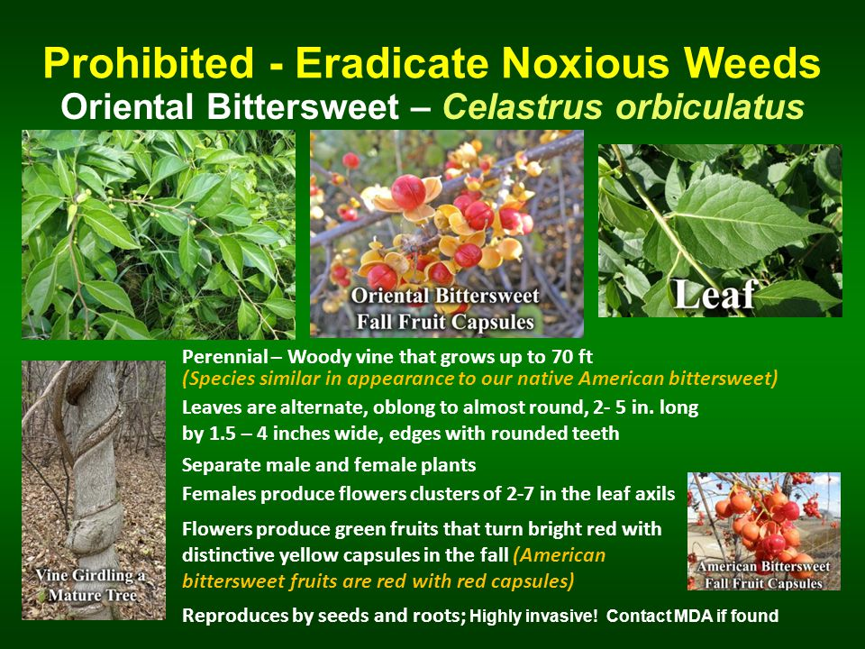 Prohibited - Eradicate Noxious Weeds Oriental Bittersweet – Celastrus orbiculatus Perennial – Woody vine that grows up to 70 ft Separate male and female plants Leaves are alternate, oblong to almost round, 2- 5 in.