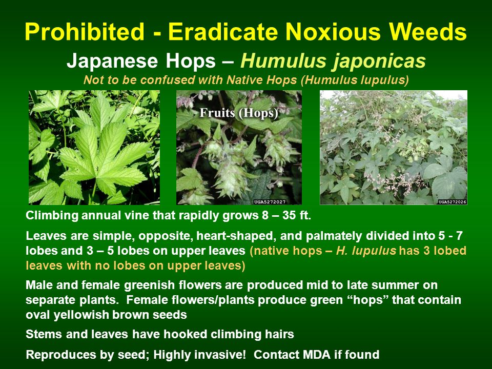 Prohibited - Eradicate Noxious Weeds Japanese Hops – Humulus japonicas Climbing annual vine that rapidly grows 8 – 35 ft.
