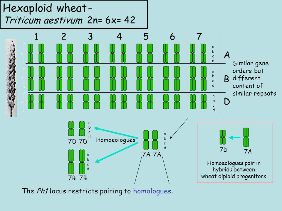 Hexaploid wheat- Triticum aestivum 2n= 6x= A B D abcdabcd abcdabcd abcdabcd Similar gene orders but different content of similar repeats 7A abcdabcd 7D 7A Homoeologues pair in hybrids between wheat diploid progenitors Homoeologues abcdabcd 7B abcdabcd 7D The Ph1 locus restricts pairing to homologues.