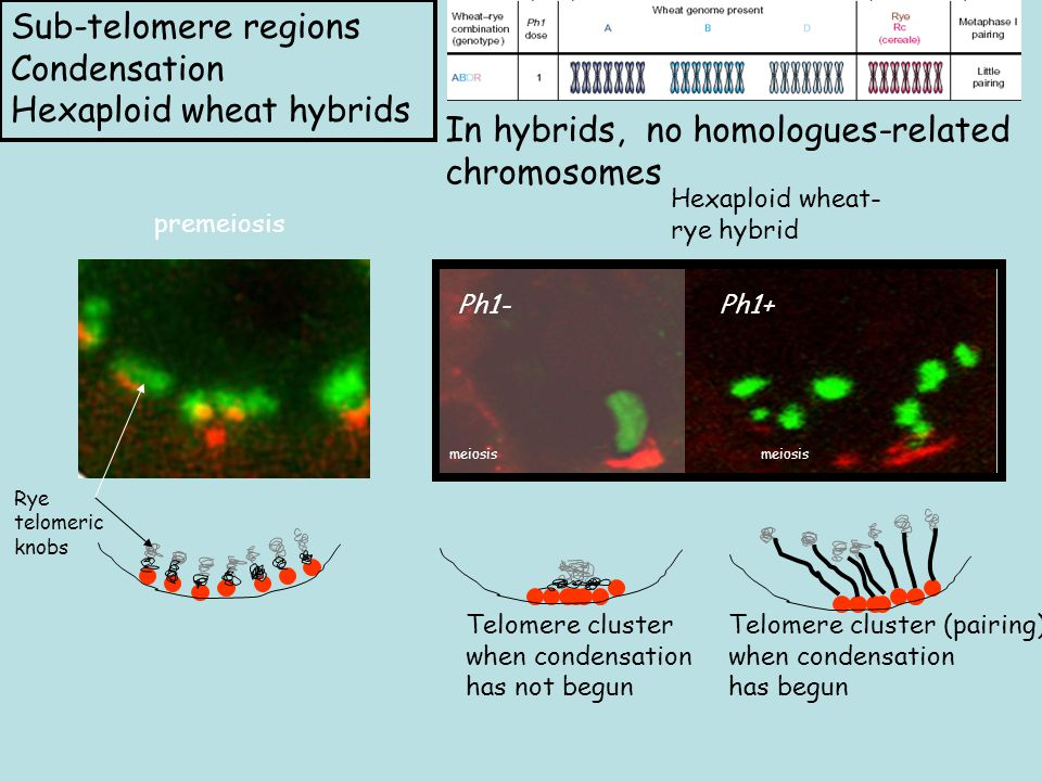Hexaploid wheat- rye hybrid Ph1- Rye telomeric knobs premeiosis Ph1+ meiosis Sub-telomere regions Condensation Hexaploid wheat hybrids Telomere cluster when condensation has not begun Telomere cluster (pairing) when condensation has begun In hybrids, no homologues-related chromosomes
