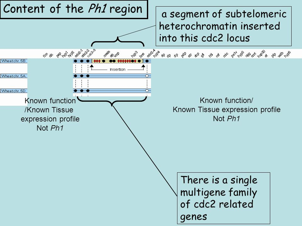 a segment of subtelomeric heterochromatin inserted into this cdc2 locus There is a single multigene family of cdc2 related genes Content of the Ph1 region Known function/ Known Tissue expression profile Not Ph1 Known function /Known Tissue expression profile Not Ph1