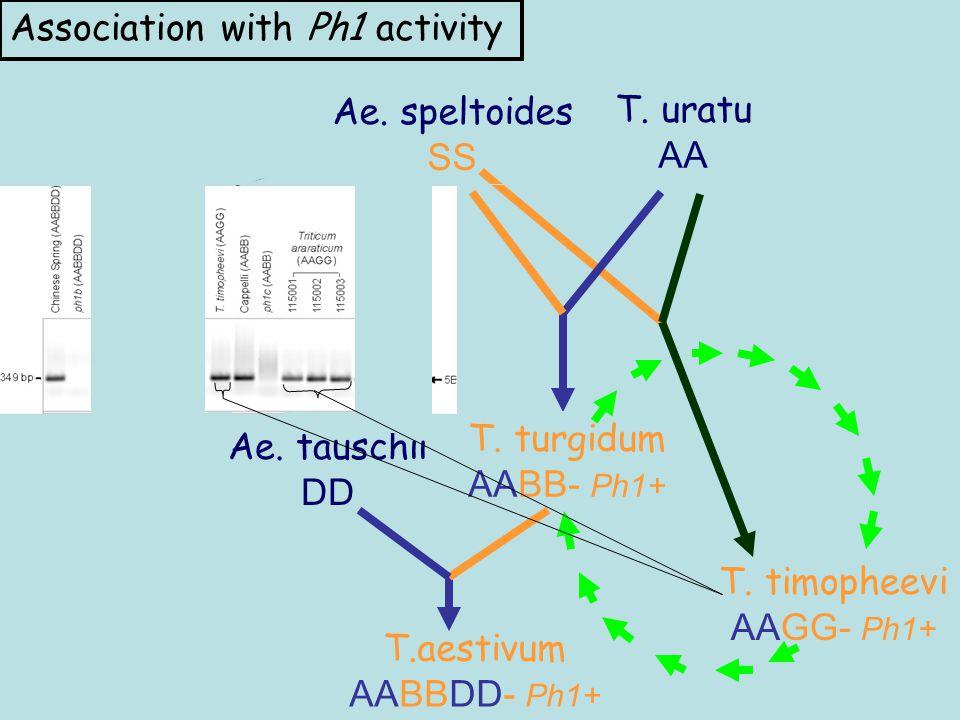 T. timopheevi AAGG- Ph1+ Ae. speltoides SS T. uratu AA Ae. tauschii DD T. turgidum AABB- Ph1+ T.aestivum AABBDD- Ph1+ Association with Ph1 activity