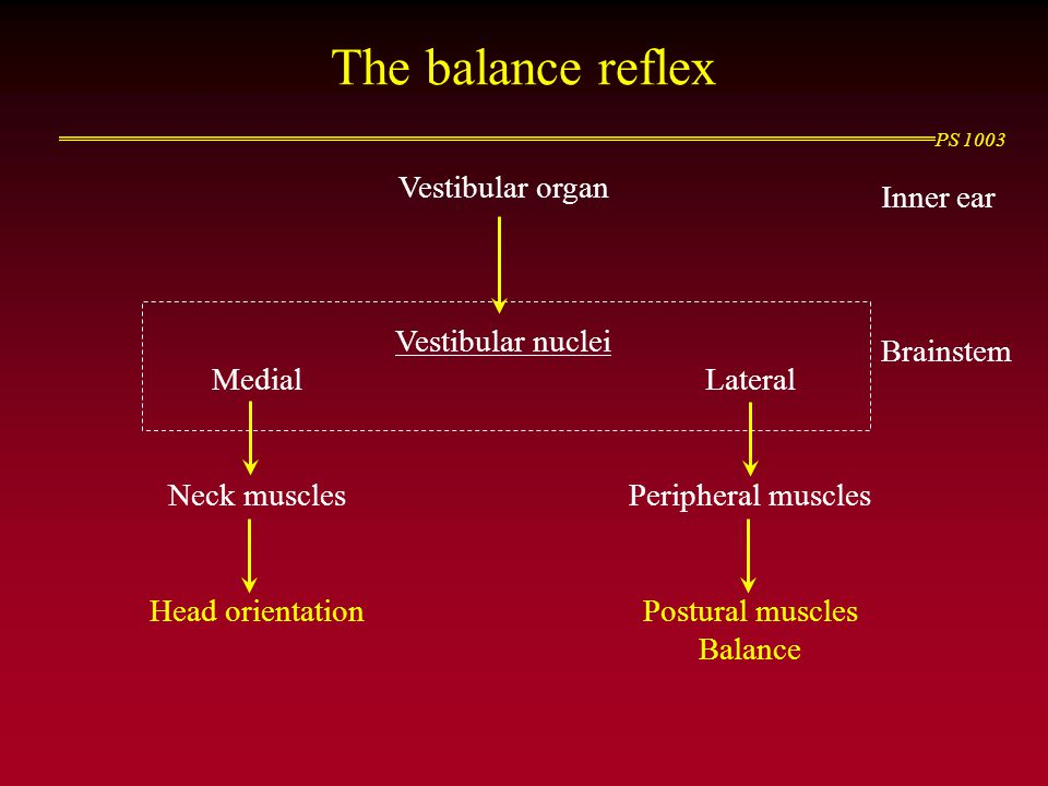 PS 1003 The balance reflex Vestibular organ Vestibular nuclei MedialLateral Neck musclesPeripheral muscles Head orientationPostural muscles Balance Inner ear Brainstem