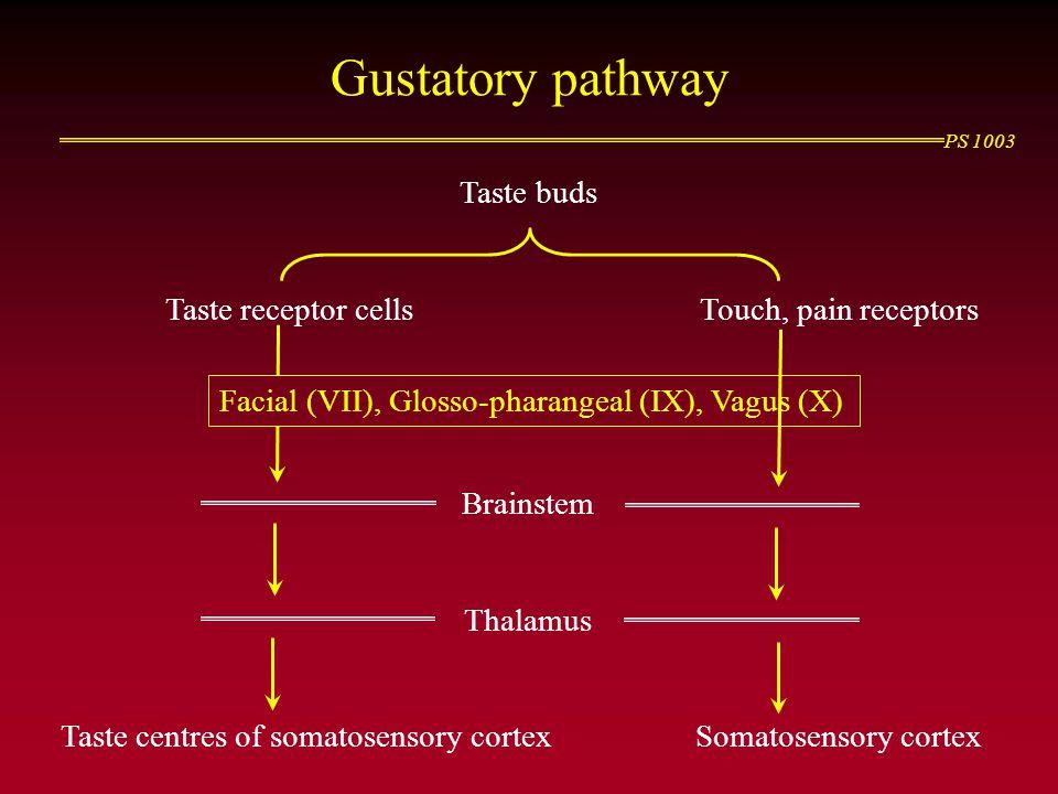 PS 1003 Gustatory pathway Taste buds Taste receptor cellsTouch, pain receptors Brainstem Thalamus Taste centres of somatosensory cortexSomatosensory c