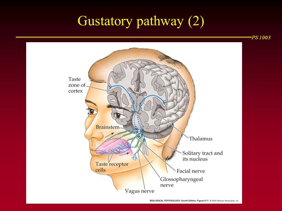 PS 1003 Gustatory pathway (2)