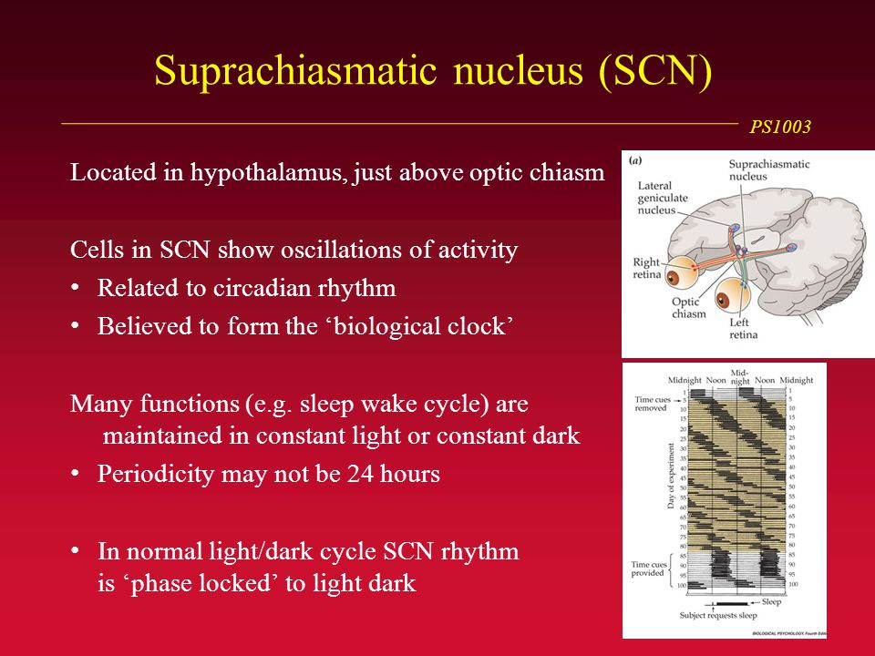 PS1003 Suprachiasmatic nucleus (SCN) Located in hypothalamus, just above optic chiasm Cells in SCN show oscillations of activity Related to circadian rhythm Believed to form the 'biological clock' Many functions (e.g.
