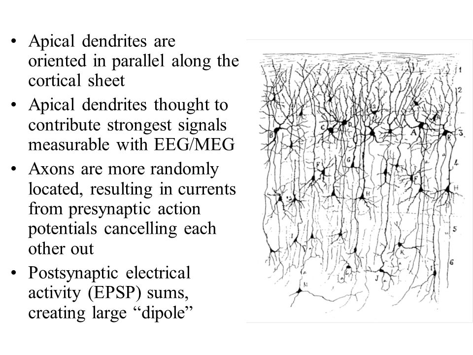 Apical dendrites are oriented in parallel along the cortical sheet Apical dendrites thought to contribute strongest signals measurable with EEG/MEG Axons are more randomly located, resulting in currents from presynaptic action potentials cancelling each other out Postsynaptic electrical activity (EPSP) sums, creating large dipole