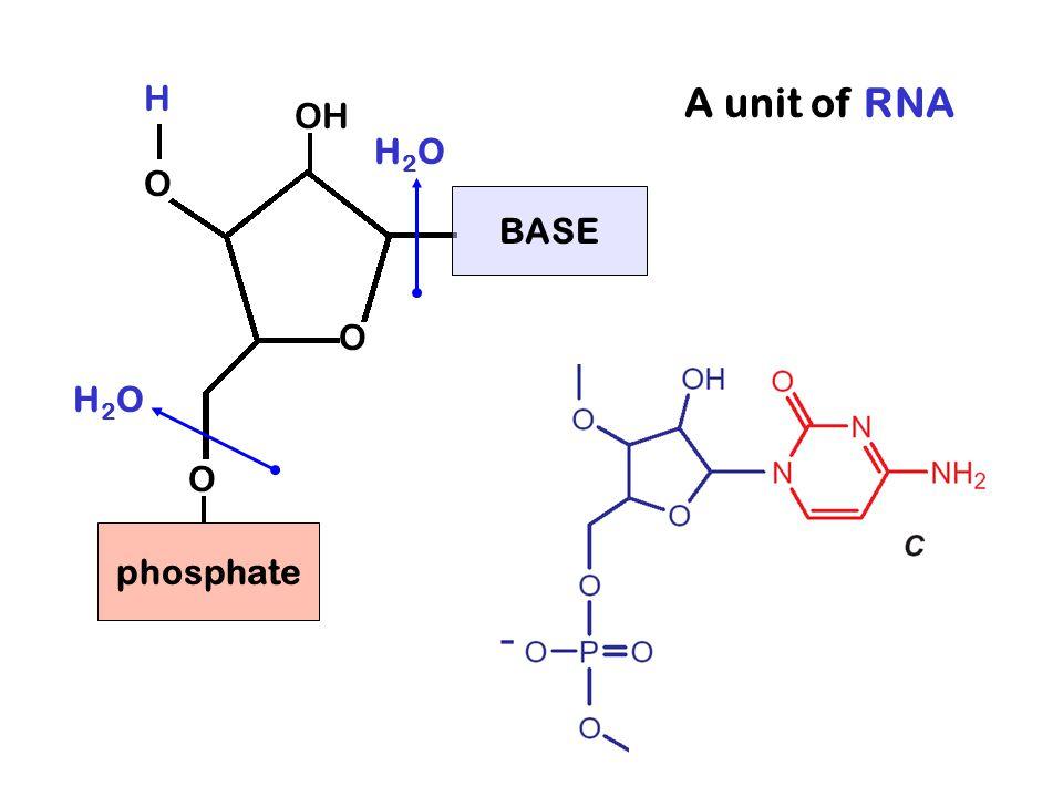 A unit of RNA HOHO O O BASE phosphate H2OH2O H2OH2O OH