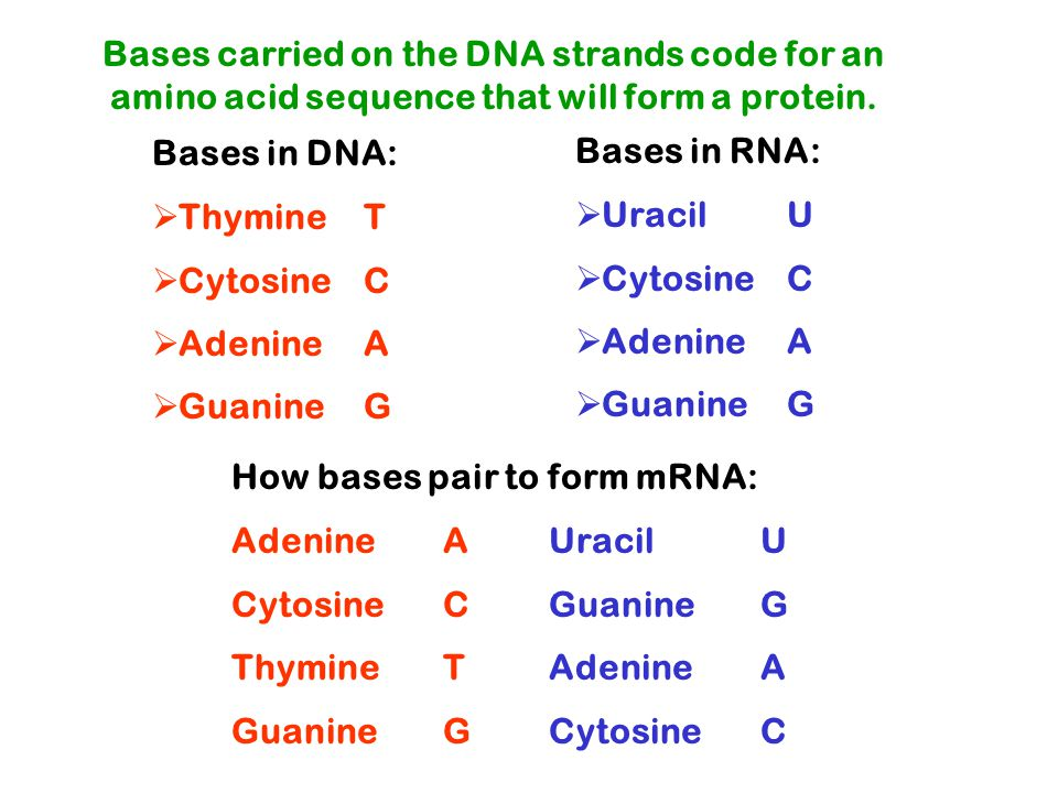 Bases in DNA:  Thymine T  Cytosine C  AdenineA  Guanine G Bases carried on the DNA strands code for an amino acid sequence that will form a protein.
