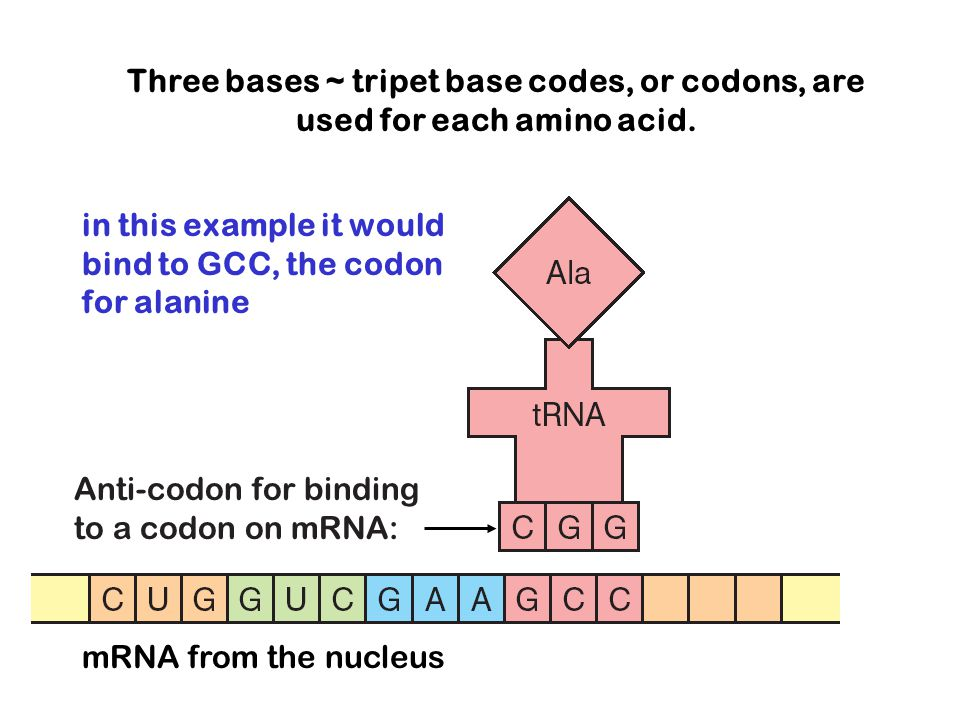 Three bases ~ tripet base codes, or codons, are used for each amino acid.