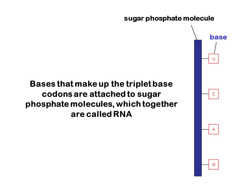 Bases that make up the triplet base codons are attached to sugar phosphate molecules, which together are called RNA sugar phosphate molecule base