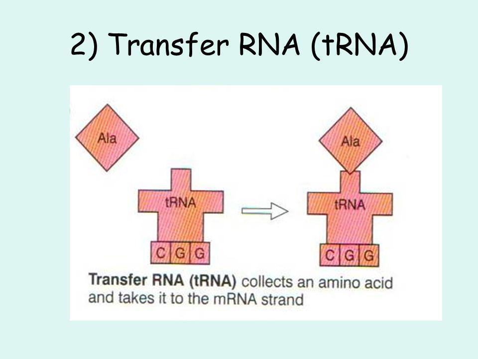 2) Transfer RNA (tRNA)