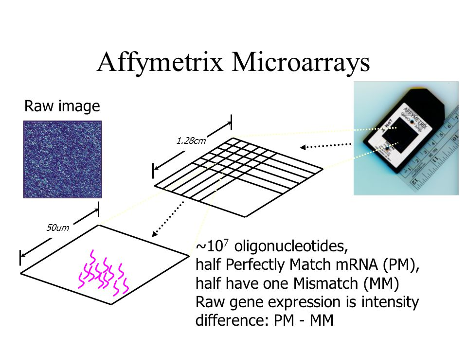 Affymetrix Microarrays 50um 1.28cm ~10 7 oligonucleotides, half Perfectly Match mRNA (PM), half have one Mismatch (MM) Raw gene expression is intensity difference: PM - MM Raw image