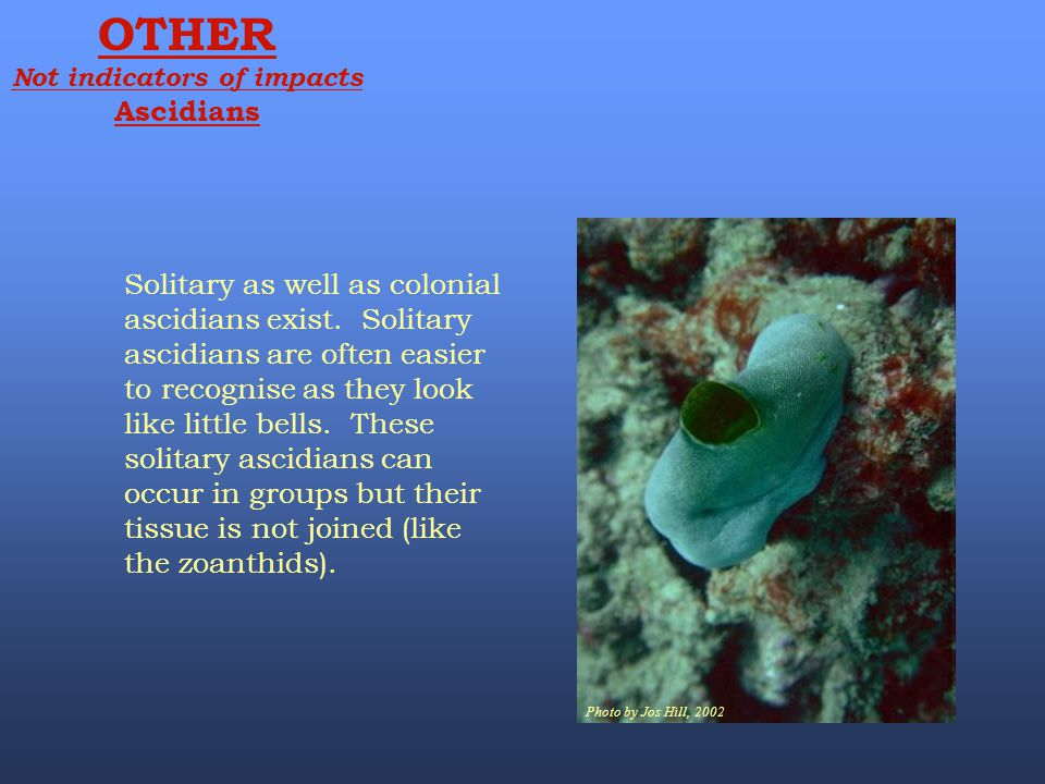 Photo by Jos Hill, 2002 OTHER Not indicators of impacts Ascidians Solitary as well as colonial ascidians exist. Solitary ascidians are often easier to