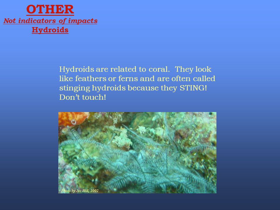 Photo by Jos Hill, 2002 OTHER Not indicators of impacts Hydroids Hydroids are related to coral. They look like feathers or ferns and are often called