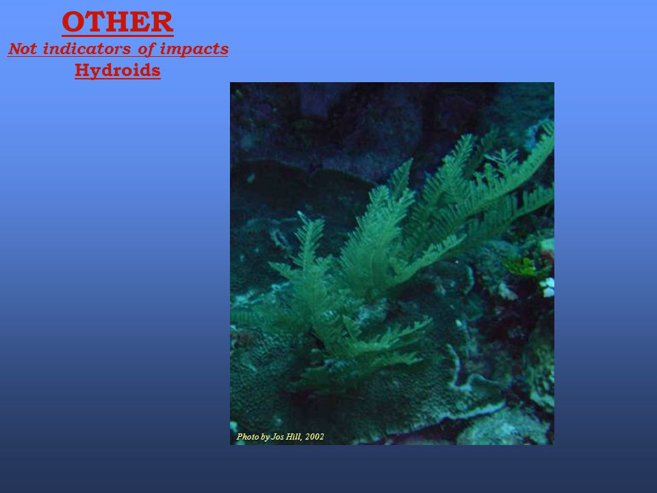 Photo by Jos Hill, 2002 OTHER Not indicators of impacts Hydroids