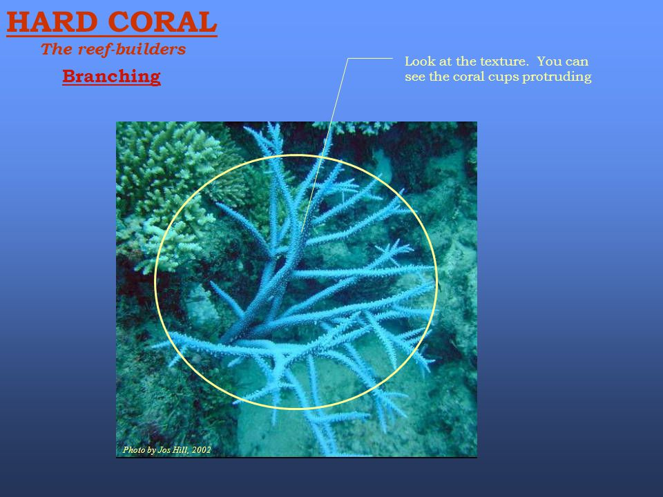 Photo by Jos Hill, 2002 Look at the texture. You can see the coral cups protruding Branching HARD CORAL The reef-builders