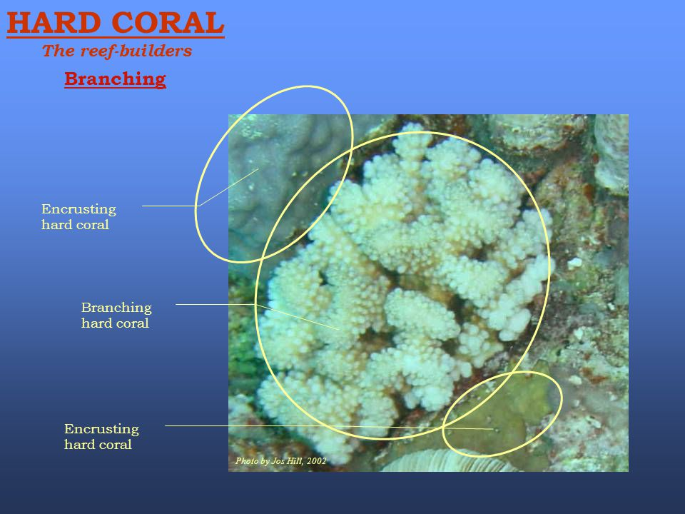Photo by Jos Hill, 2002 Branching hard coral Encrusting hard coral Branching HARD CORAL The reef-builders