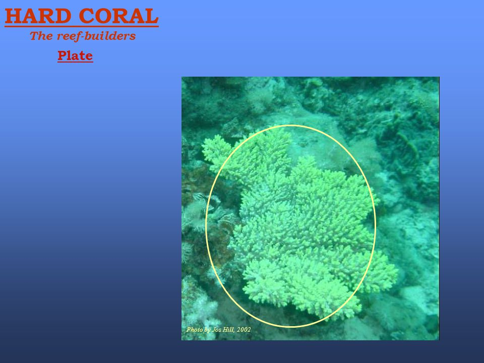 Photo by Jos Hill, 2002 Plate HARD CORAL The reef-builders