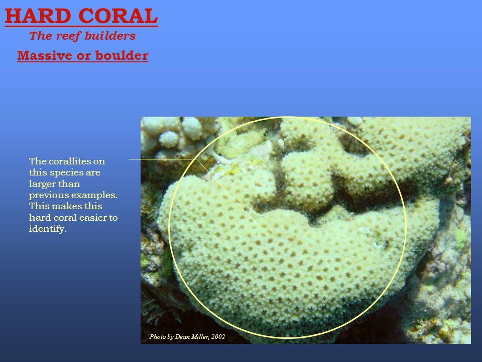 Photo by Dean Miller, 2002 HARD CORAL The reef builders The corallites on this species are larger than previous examples. This makes this hard coral e