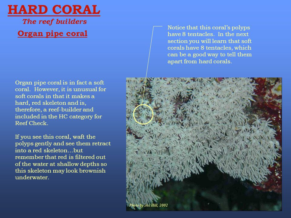 Photo by Jos Hill, 2002 HARD CORAL The reef builders Organ pipe coral Notice that this coral's polyps have 8 tentacles. In the next section you will l