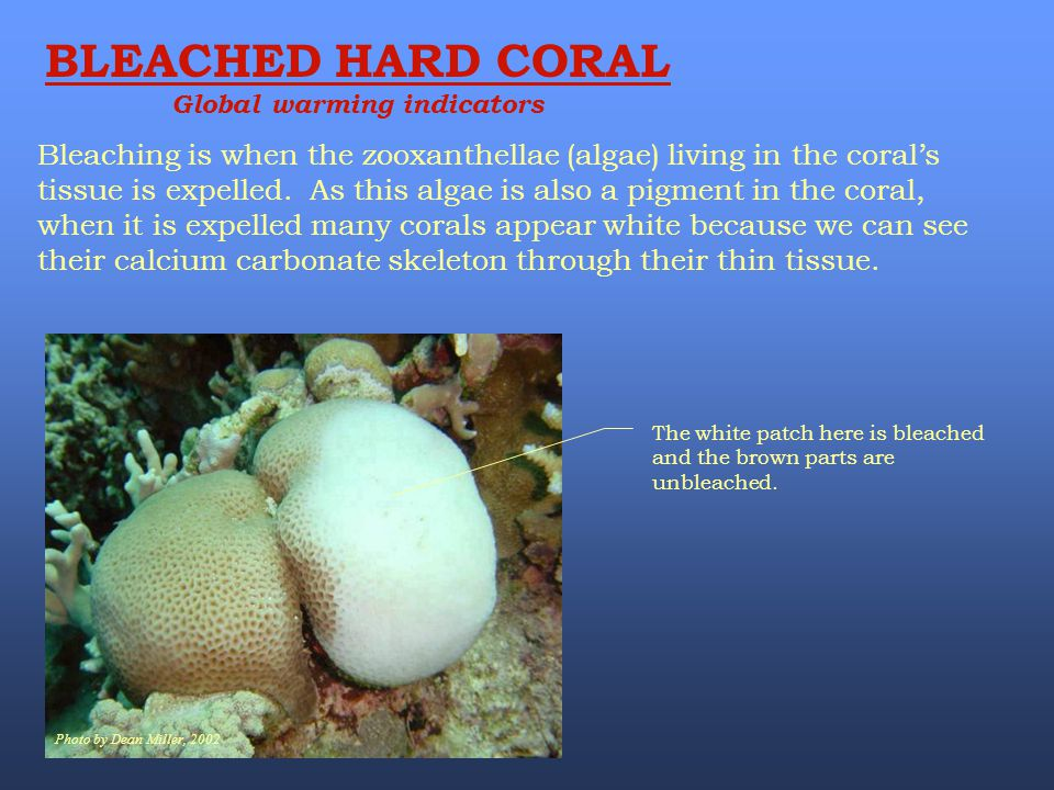 BLEACHED HARD CORAL Global warming indicators Photo by Dean Miller, 2002 The white patch here is bleached and the brown parts are unbleached. Bleachin