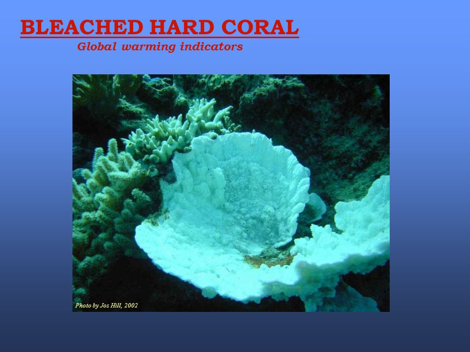 Photo by Jos Hill, 2002 BLEACHED HARD CORAL Global warming indicators