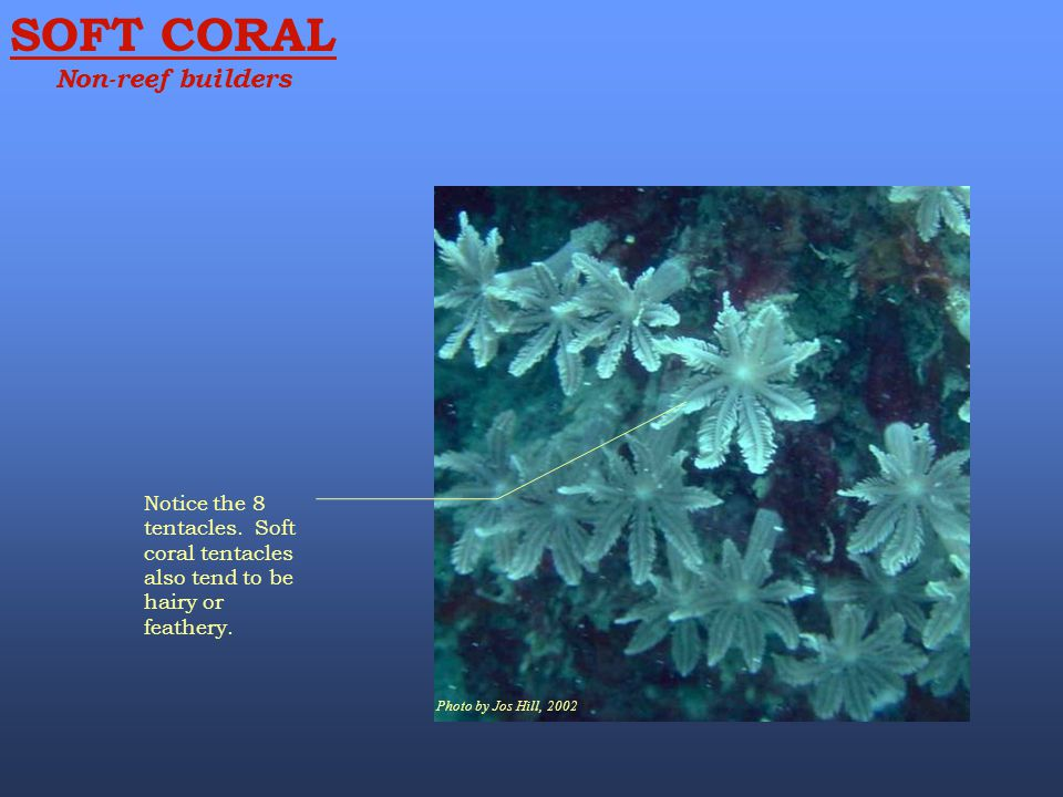 SOFT CORAL Non-reef builders Photo by Jos Hill, 2002 Notice the 8 tentacles. Soft coral tentacles also tend to be hairy or feathery.