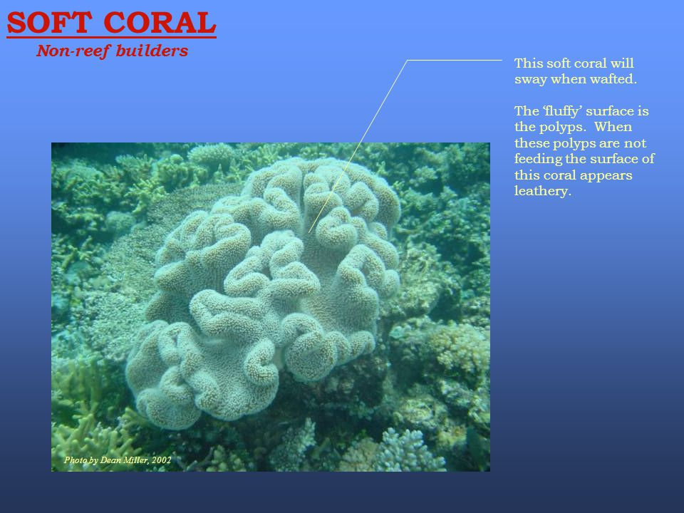 SOFT CORAL Non-reef builders Photo by Dean Miller, 2002 This soft coral will sway when wafted. The 'fluffy' surface is the polyps. When these polyps a