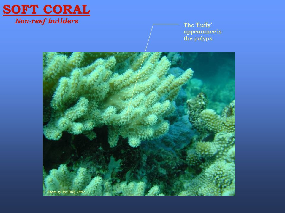 SOFT CORAL Non-reef builders Photo by Jos Hill, 2002 The 'fluffy' appearance is the polyps.