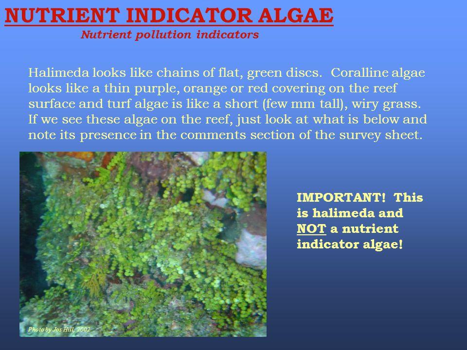 Halimeda looks like chains of flat, green discs. Coralline algae looks like a thin purple, orange or red covering on the reef surface and turf algae i