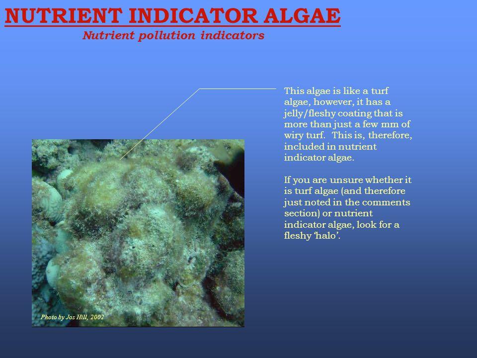 Photo by Jos Hill, 2002 NUTRIENT INDICATOR ALGAE Nutrient pollution indicators This algae is like a turf algae, however, it has a jelly/fleshy coating