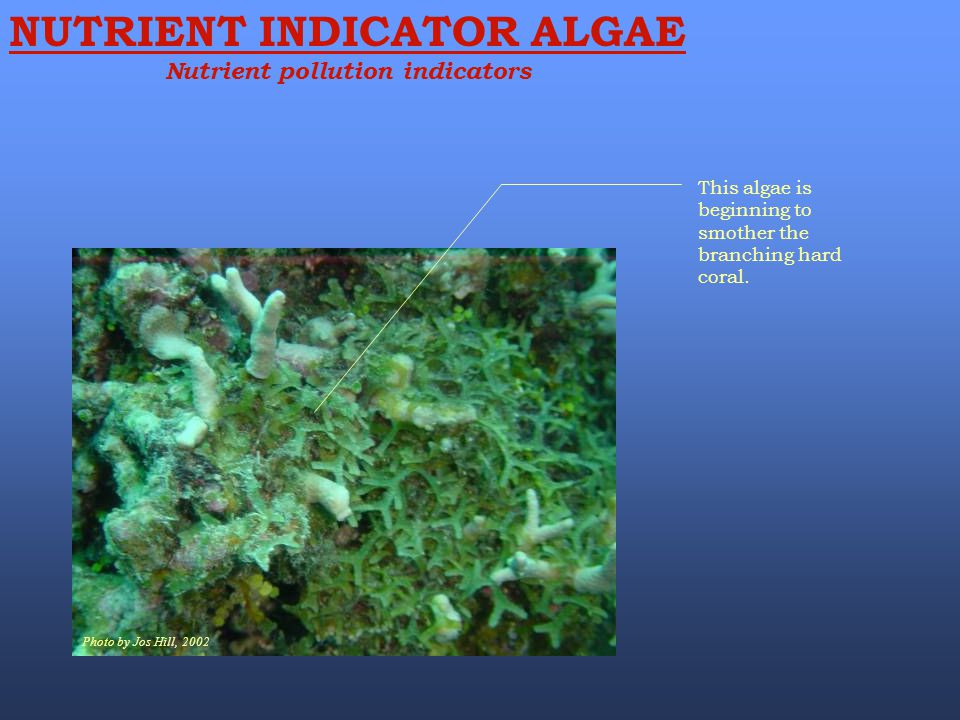 Photo by Jos Hill, 2002 This algae is beginning to smother the branching hard coral. NUTRIENT INDICATOR ALGAE Nutrient pollution indicators