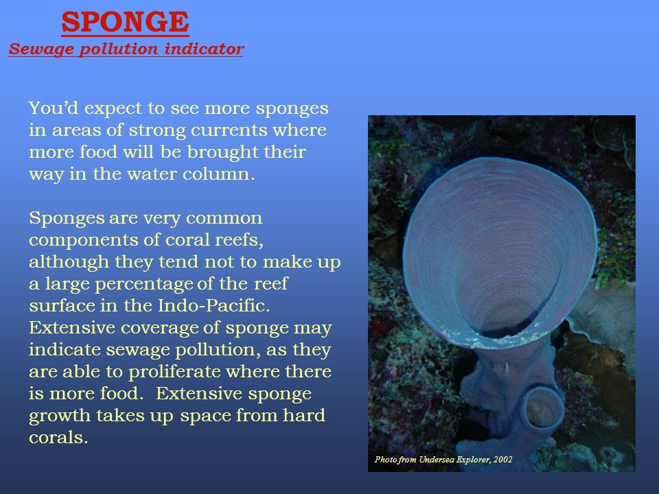 Photo from Undersea Explorer, 2002 SPONGE Sewage pollution indicator You'd expect to see more sponges in areas of strong currents where more food will