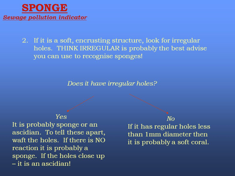 2.If it is a soft, encrusting structure, look for irregular holes. THINK IRREGULAR is probably the best advise you can use to recognise sponges! Does