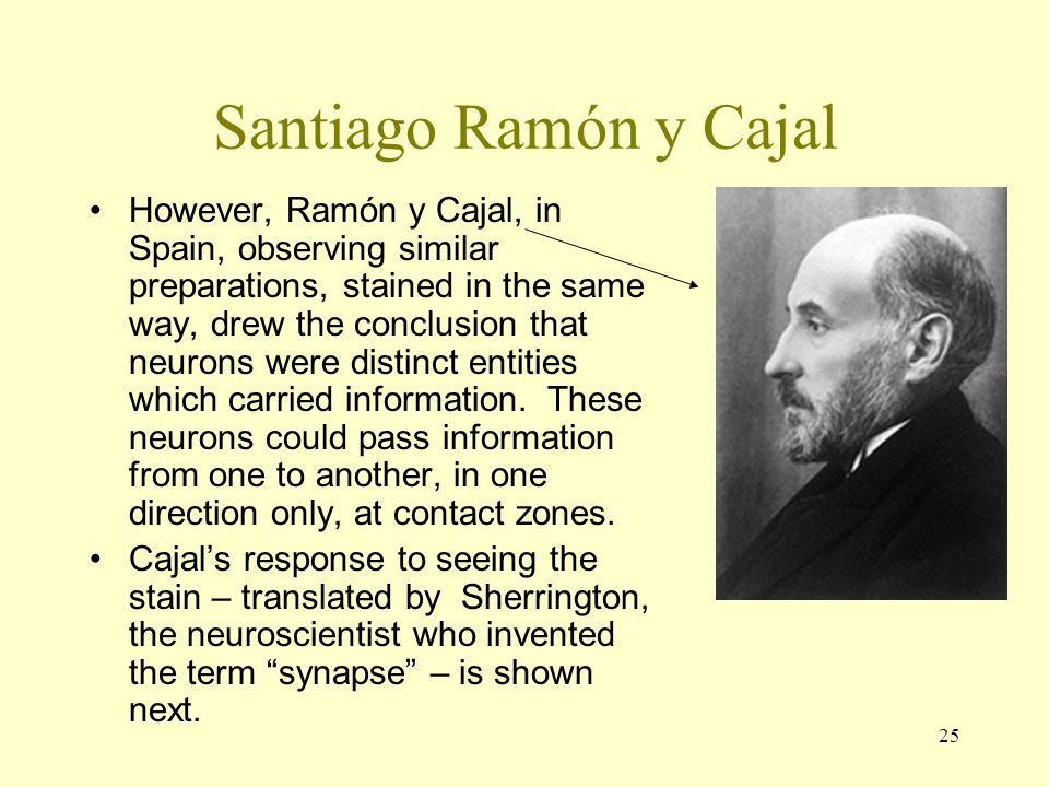 25 Santiago Ramón y Cajal However, Ramón y Cajal, in Spain, observing similar preparations, stained in the same way, drew the conclusion that neurons