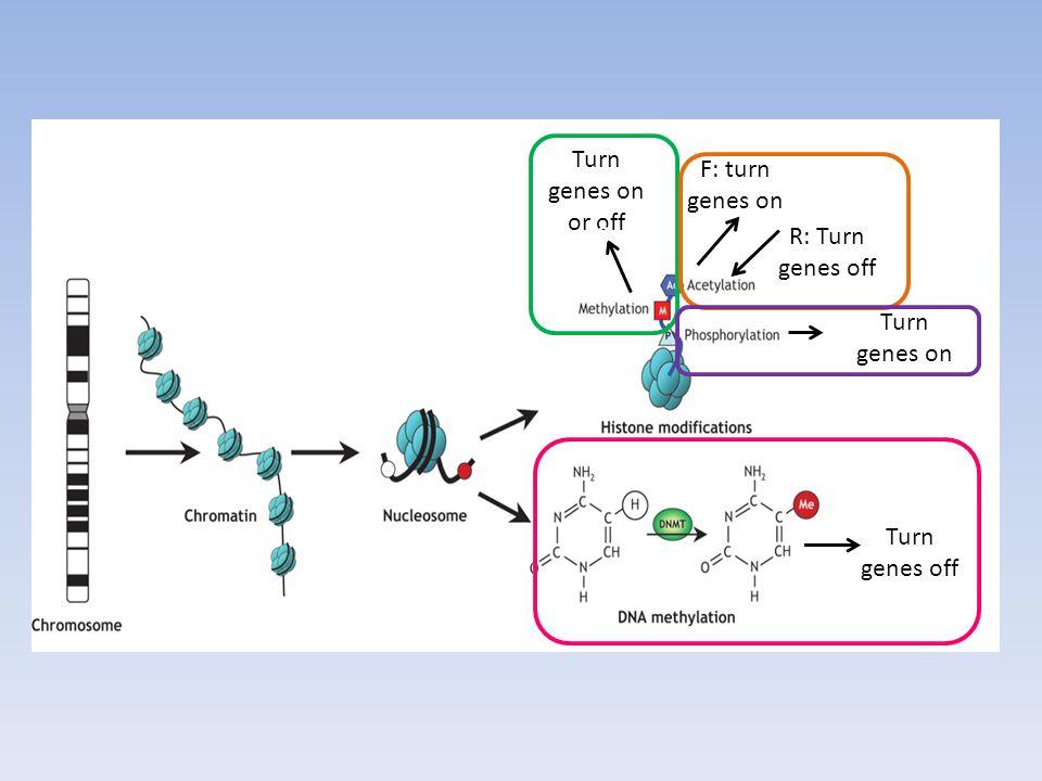Turn genes on or off 0 F: turn genes on Turn genes on Turn genes off R: Turn genes off