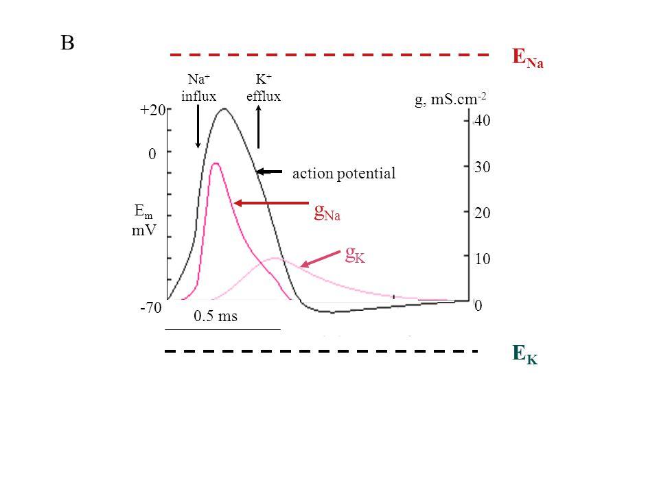 action potential g Na gKgK 40 30 20 10 0 E m mV Na + influx g, mS.cm -2 +20 0 -70 EKEK E Na EKEK 0.5 ms B K + efflux