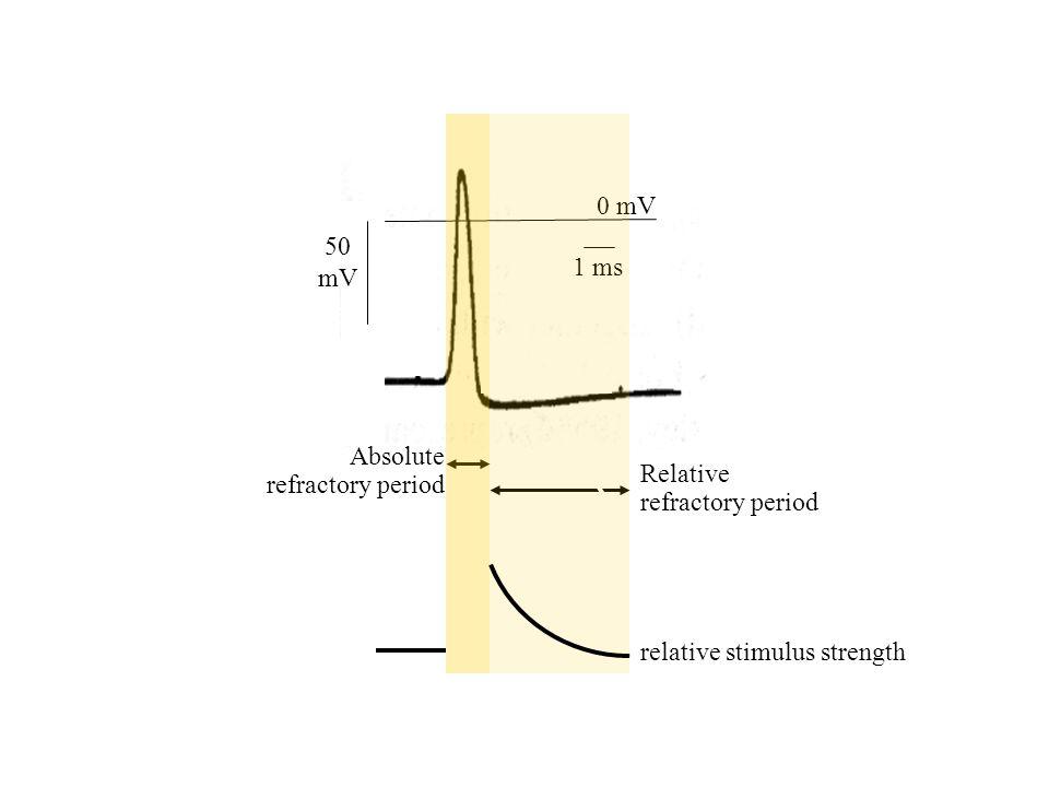 1 ms 0 mV 50 mV relative stimulus strength Absolute refractory period Relative refractory period