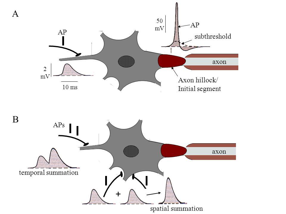 A axon 2 mV 10 ms AP subthreshold 50 mV Axon hillock/ Initial segment AP axon APs + B temporal summation spatial summation