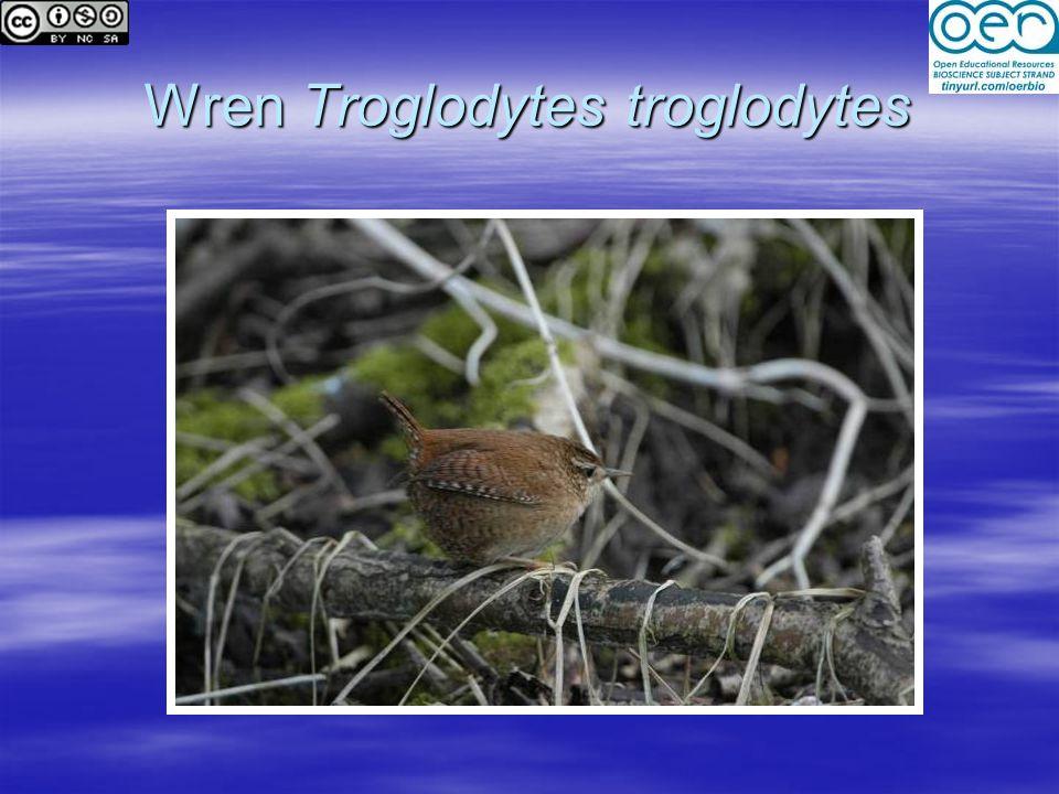 Wren Troglodytes troglodytes