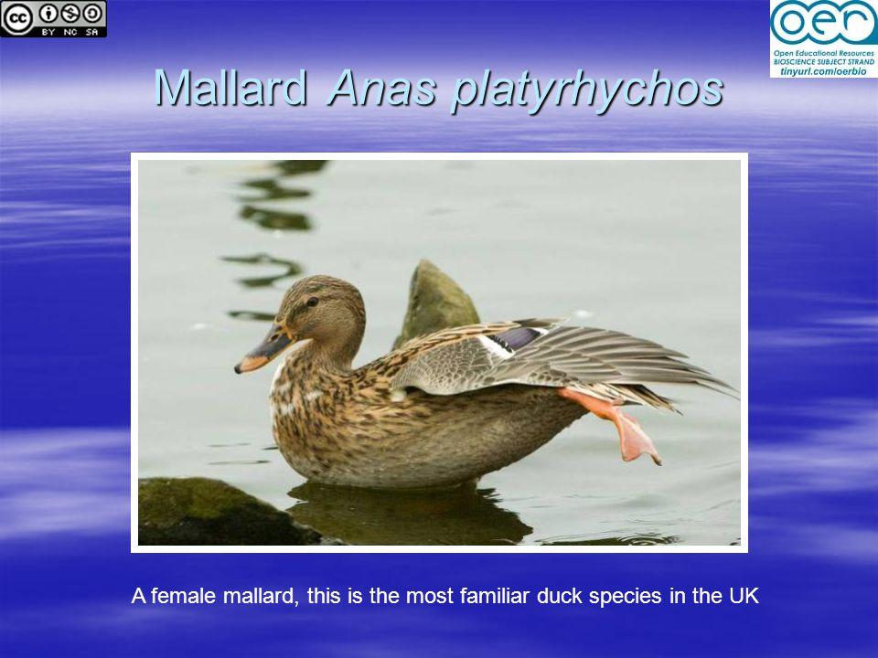 Mallard Anas platyrhychos A female mallard, this is the most familiar duck species in the UK