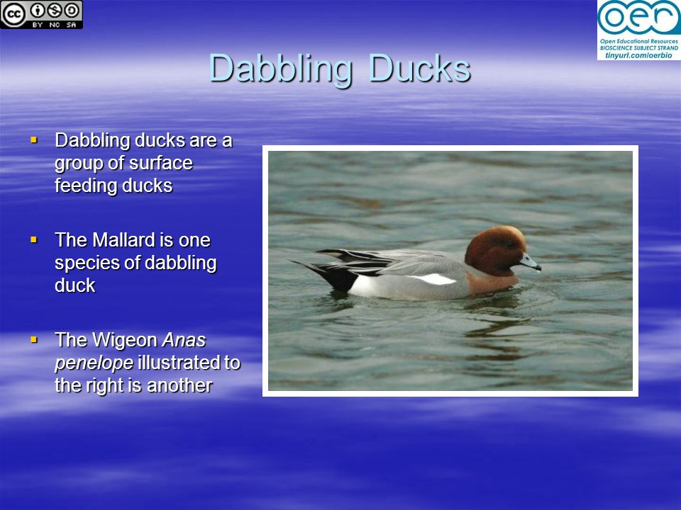 Dabbling Ducks  Dabbling ducks are a group of surface feeding ducks  The Mallard is one species of dabbling duck  The Wigeon Anas penelope illustrated to the right is another