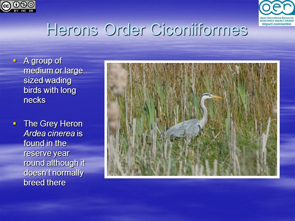 Herons Order Ciconiiformes  A group of medium or large sized wading birds with long necks  The Grey Heron Ardea cinerea is found in the reserve year round although it doesn't normally breed there