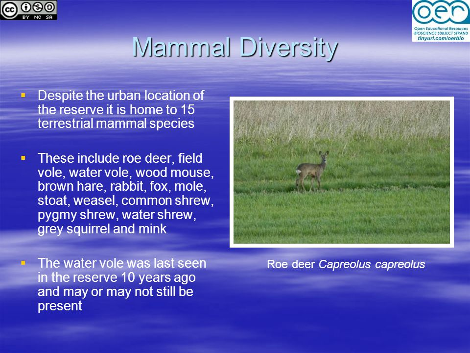 Mammal Diversity   Despite the urban location of the reserve it is home to 15 terrestrial mammal species   These include roe deer, field vole, water vole, wood mouse, brown hare, rabbit, fox, mole, stoat, weasel, common shrew, pygmy shrew, water shrew, grey squirrel and mink   The water vole was last seen in the reserve 10 years ago and may or may not still be present Roe deer Capreolus capreolus